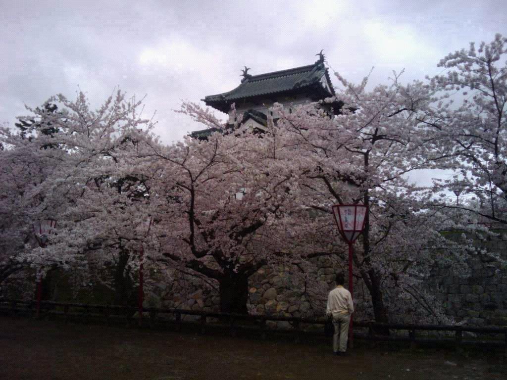 弘前の桜.jpg