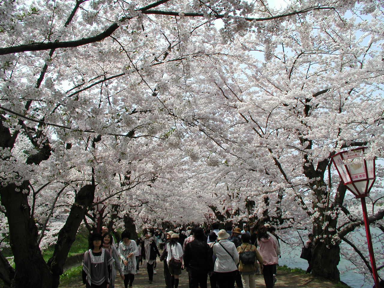 弘前桜祭り 011.JPG