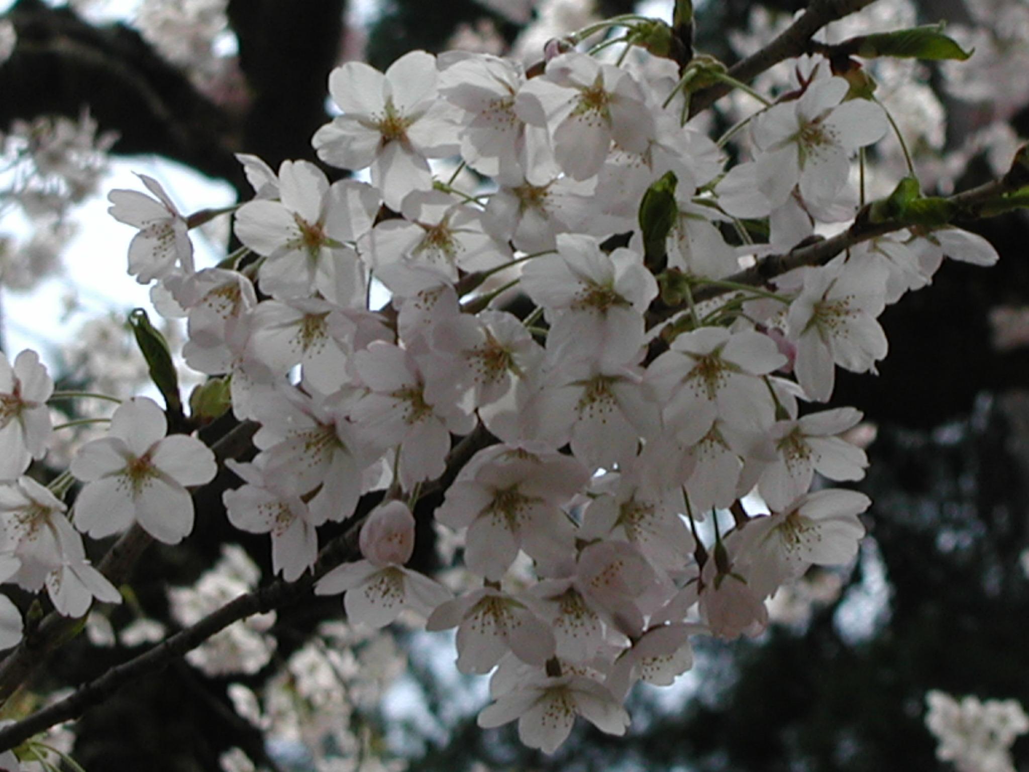 弘前桜祭り 024.JPG